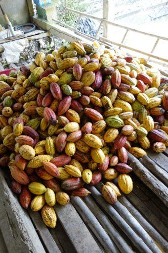 Récolte de cabosses de cacao