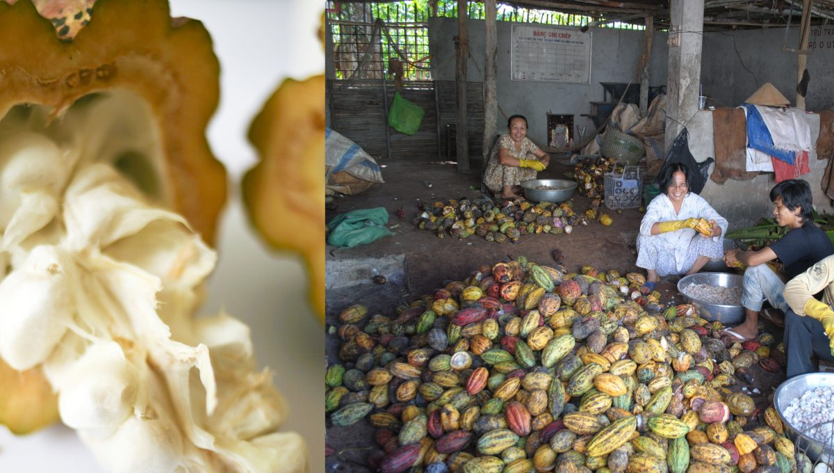 Le cacao sous toutes ses coutures - de l'arbre à la fève