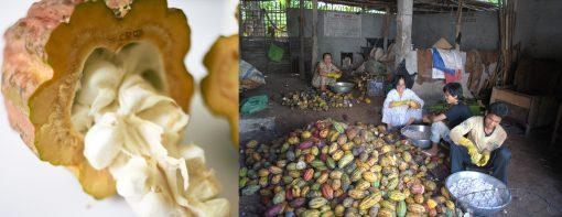 Mucilage de cacao et écabossage