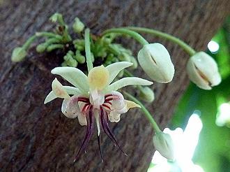 Fleur de cacaoyer